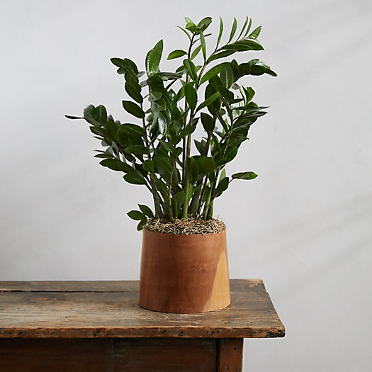View larger image of ZZ Plant, Teak Wood Pot