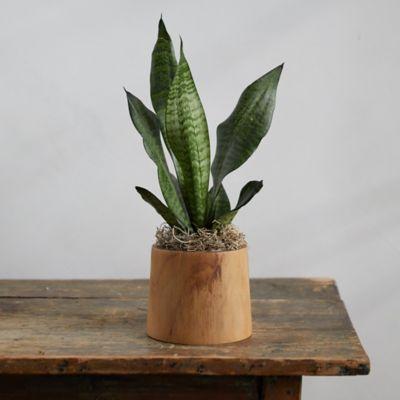 Snake Plant, Teak Wood Pot