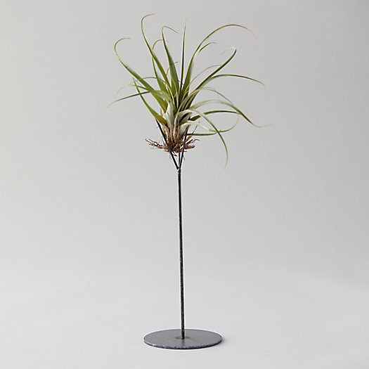 View larger image of Tall Tillandsia Stand