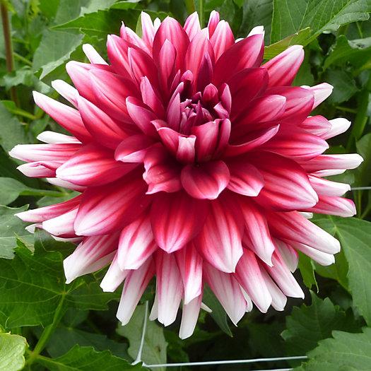 View larger image of Jowey Morris Dahlia Bulbs