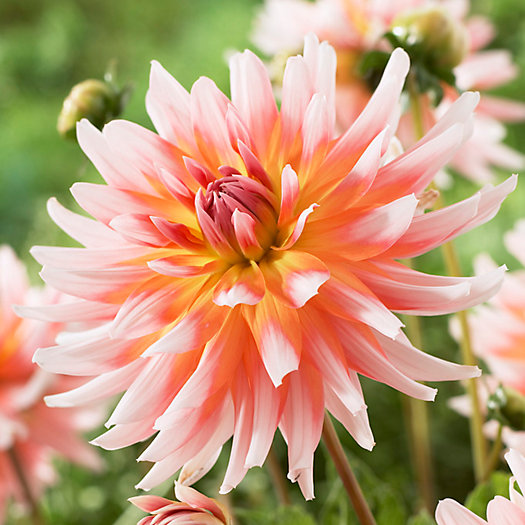 View larger image of 'Okapis Sunset' Dahlia Bulbs