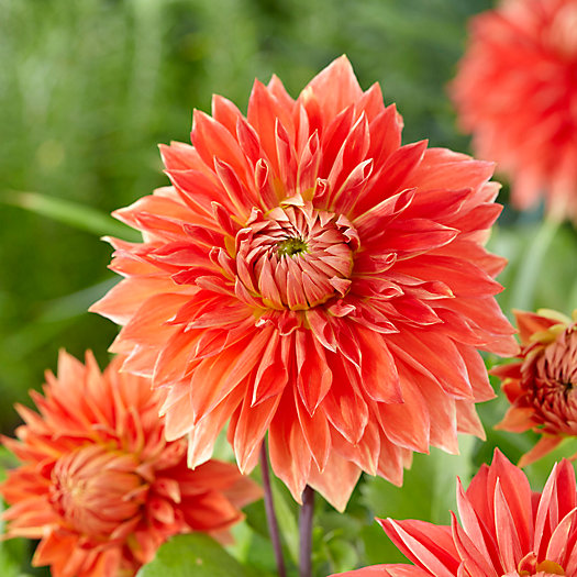 View larger image of Parkland Glory Dahlia Bulbs