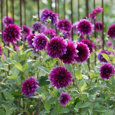 'Thomas Edison' Dahlia Bulbs