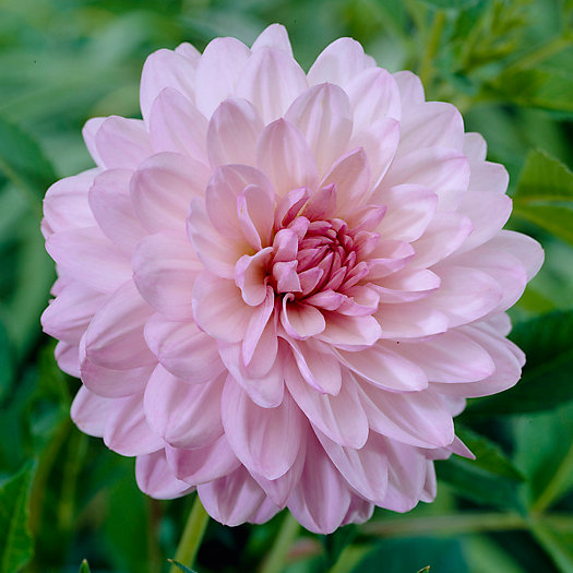 View larger image of 'Valentino' Dahlia Bulbs