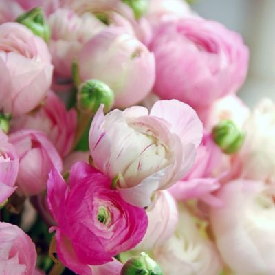 Tecolote Ranunculus Mix Bulbs