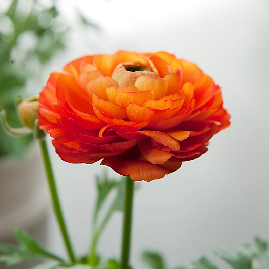 View larger image of Salmon 'Tecolote' Ranunculus Bulbs