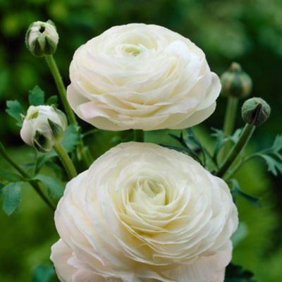 White 'Tecolote' Ranunculus Bulbs