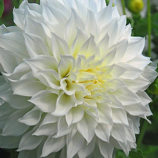 View larger image of 'Fleurel' Dahlia Bulbs