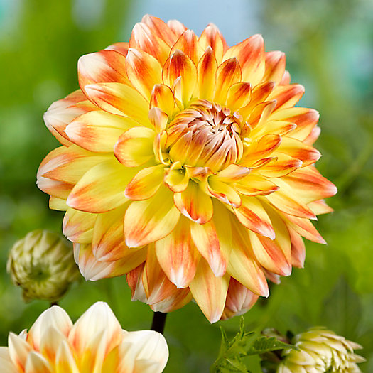 View larger image of 'Peaches and Cream' Dahlia Bulbs