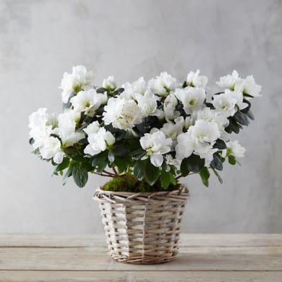 White Azaleas, Woven Basket