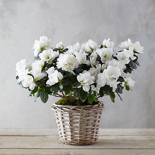 View larger image of White Azaleas, Woven Basket