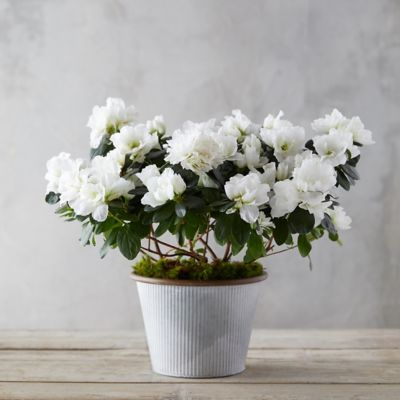 White Azaleas, Ribbed Metal Pot