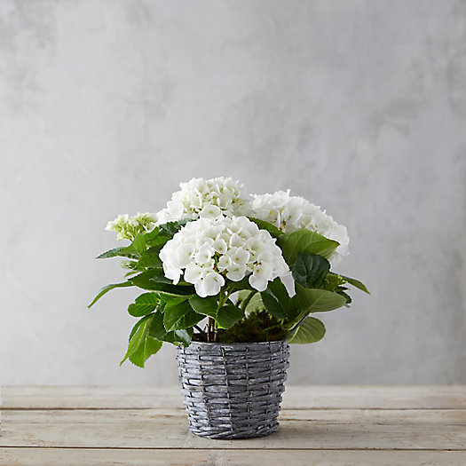 View larger image of Glory Hydrangea, Woven Metal Pot
