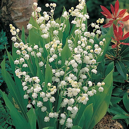 View larger image of Lily of the Valley Bulbs