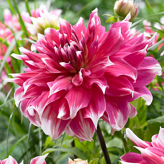 View larger image of Frost Nip Dahlia Bulb