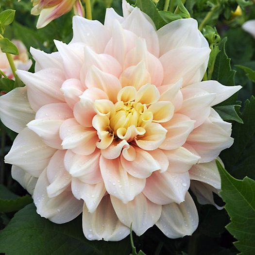 View larger image of 'Break Out' Dahlia Bulbs