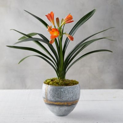 Clivia Plant, Brass Pot