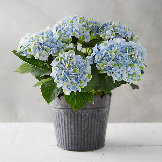 View larger image of Revolution Hydrangea, Scalloped Stripe Pot