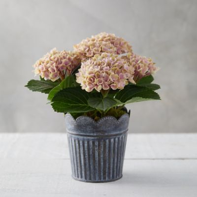Pink Revolution Hydrangea, Scalloped Stripe Pot