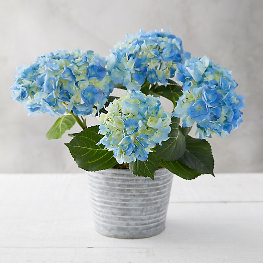 View larger image of Blue + Purple Hydrangea, Waved Metal Pot