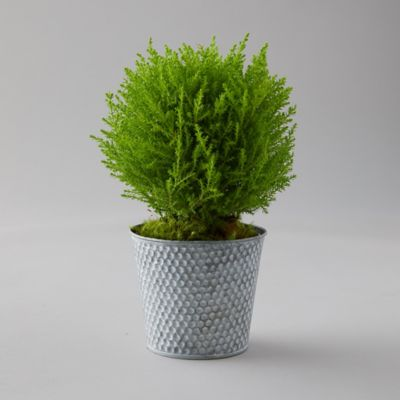 Lemon Cypress Topiary, Dotted Metal Pot