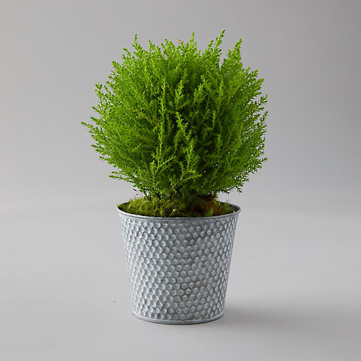 View larger image of Lemon Cypress Topiary, Dotted Metal Pot