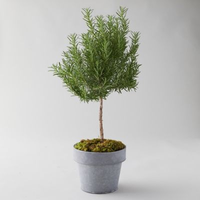 Rosemary Topiary, Metal Pot