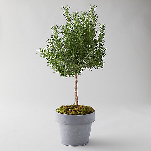 View larger image of Rosemary Topiary, Metal Pot
