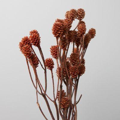 Dried Salignum Branch