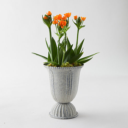 View larger image of Sun Star Ornithogalum, Tall Urn