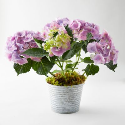 Pink Berlin Hydrangea, Waved Metal Pot