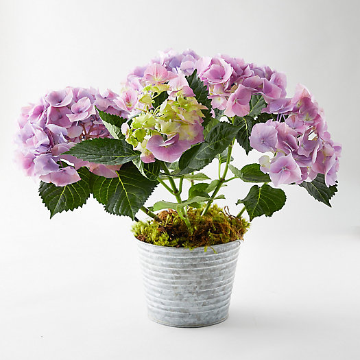 View larger image of Pink Berlin Hydrangea, Waved Metal Pot