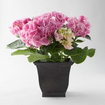Pink Hydrangea, Square Black Pot