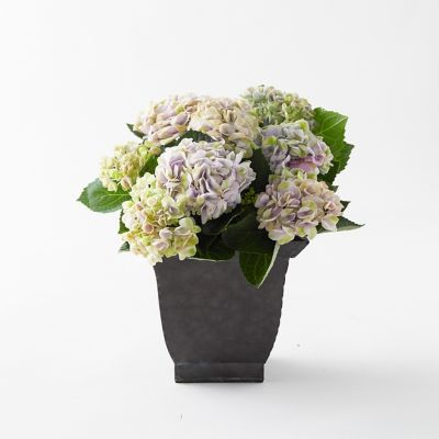 Revolution Hydrangea, Square Black Pot