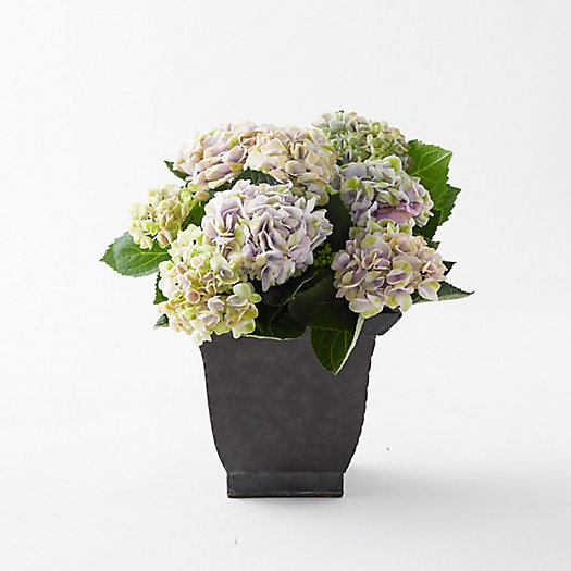 View larger image of Revolution Hydrangea, Square Black Pot