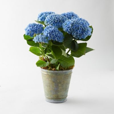 Revolution Hydrangea, Aged Metal Pot