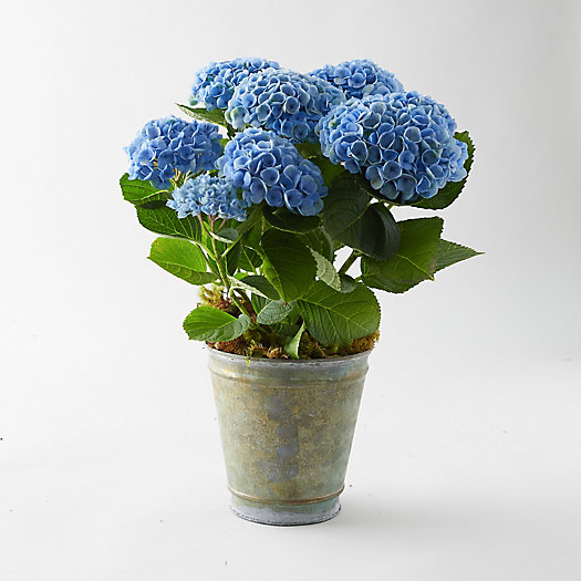 View larger image of Revolution Hydrangea, Aged Metal Pot