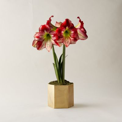 Amaryllis, Brass Pot