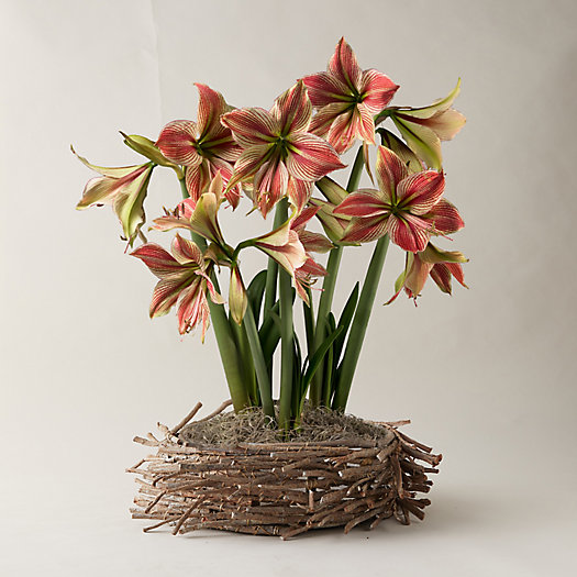 View larger image of Amaryllis, Twig Basket