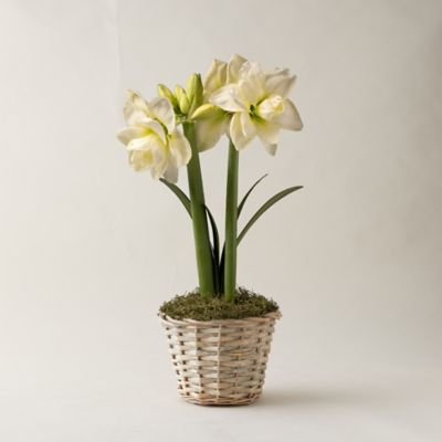 White Amaryllis, Basket Pot