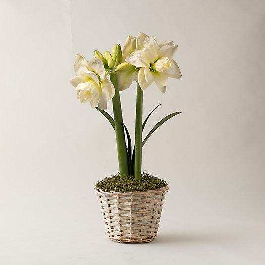 View larger image of White Amaryllis, Basket Pot