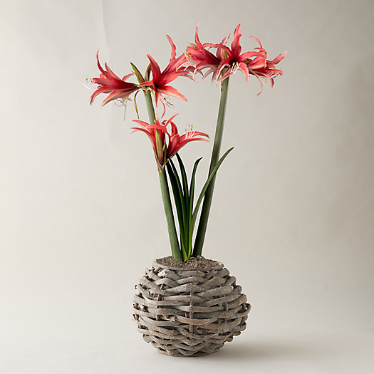View larger image of Amaryllis, Round Basket
