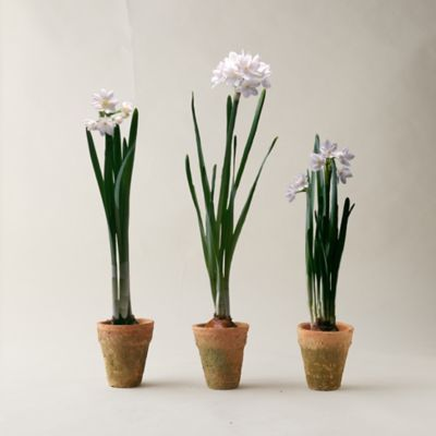 Paperwhites Trio, Clay Pots