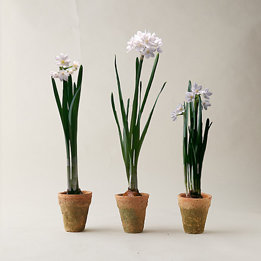 View larger image of Paperwhites Trio, Clay Pots