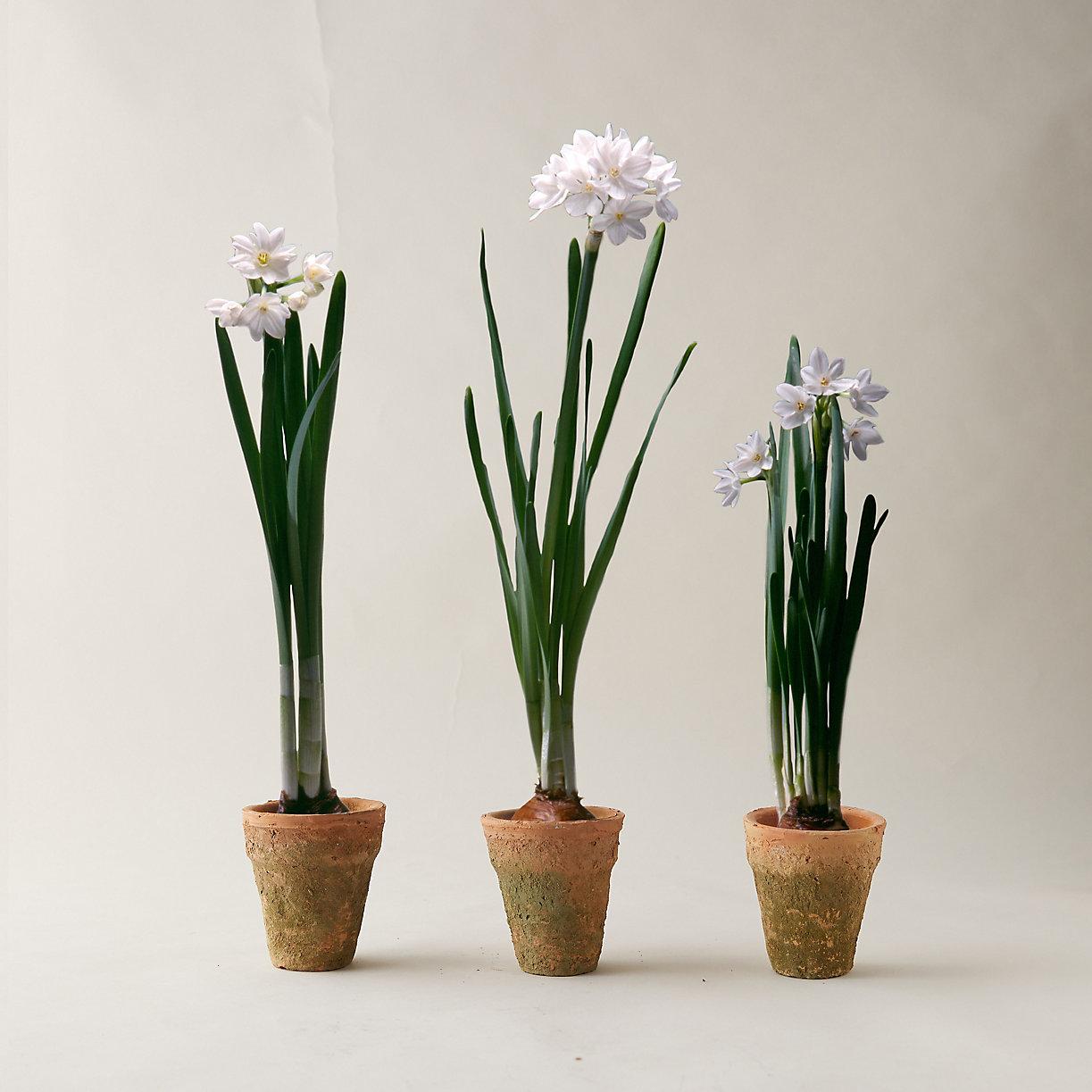 Paperwhites Trio, Clay Pots