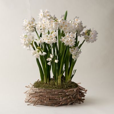Paperwhites, Twig Basket