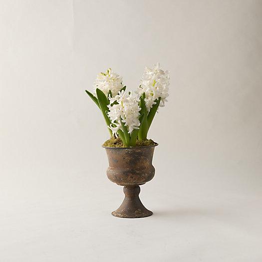 View larger image of Hyacinth Bulbs, Metal Urn