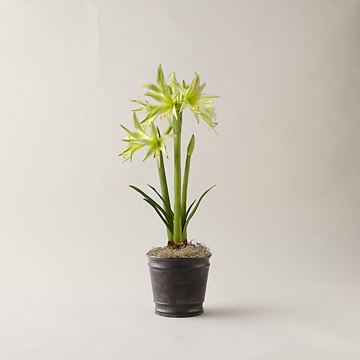 View larger image of Amaryllis, Double Rim Black Pot