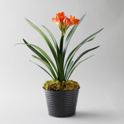 Clivia Plant, Black Waved Pot