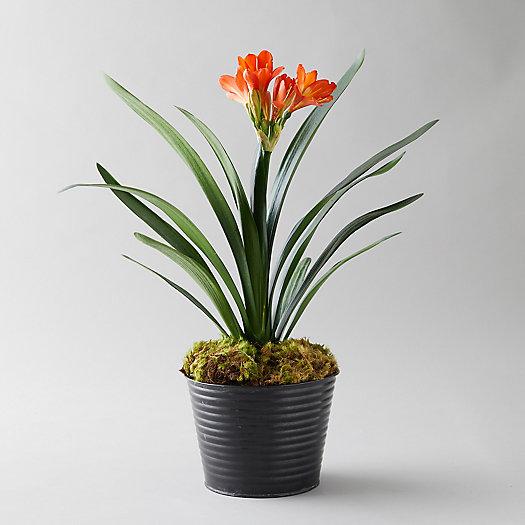 View larger image of Clivia Plant, Black Waved Pot